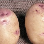 Описание сорта картофеля Саксон