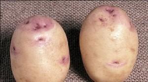 foto-sorta-kartofelya-sakson