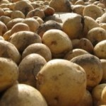 Описание сорта картофеля Северный