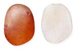 foto-sorta-kartofelya-snegir