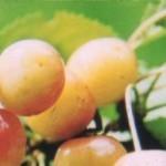 Описание сорта черешни Золотухинская