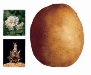 foto-sorta-kartofelya-fazan