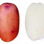 Описание сорта картофеля Юбиляр