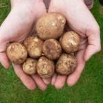 Описание сорта картофеля Юна