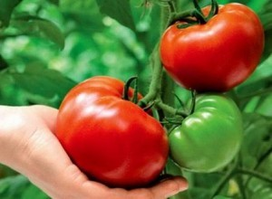 foto-sorta-tomata-pomidora-azov