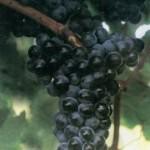 Описание сорта винограда Красностоп анапский