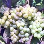 Описание сорта винограда Кристалл