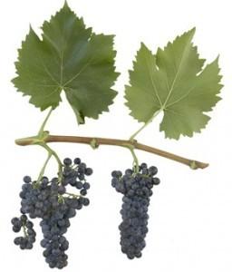 foto-sorta-vinograda-krymchanin