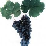 Описание сорта винограда Кубанец