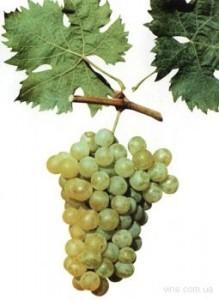 foto-sorta-vinograda-larni-muskatnaya