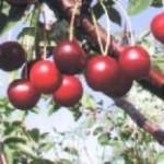 Описание сорта черешни Рубиновая Никитина