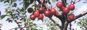 foto-sorta-chereshni-rubinovaya-nikitina