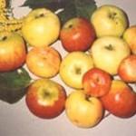 Описание сорта яблони Бердское ребристое