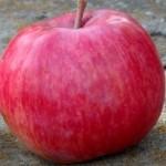 Описание сорта яблони Беркутовское