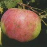 Описание сорта яблони Бессемянка мичуринская