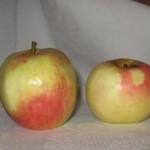 Описание сорта яблони Бирское грушевое