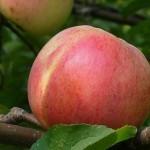 Описание сорта яблони Болотовское