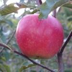 Описание сорта яблони Вадимовка