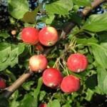Описание сорта яблони Горноалтайское