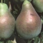 Описание сорта груши Аллегро