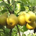 Описание сорта груши Белолистка