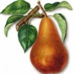 Описание сорта груши Бере Боск (Бере Александр)