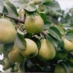Описание сорта груши Бергамот Дагестана