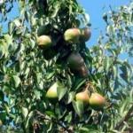 Описание сорта груши Добрянка (Сентябрина)
