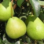 Описание сорта груши Есенинская