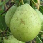 Описание сорта груши Гимринская