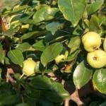 Описание сорта груши Июльская ранняя