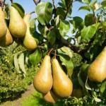 Описание сорта груши Кавказ