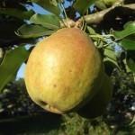 Описание сорта груши Кубанская поздняя