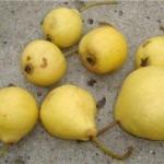 Описание сорта груши Ларинская