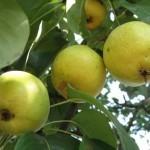 Описание сорта груши Лимонка