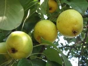 foto-sorta-grushi-limonka