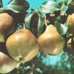 Описание сорта груши Любимица Яковлева