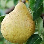 Описание сорта груши Москвичка