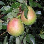 Описание сорта груши Мраморная