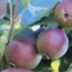 Описание сорта груши Нарядная Ефимова