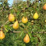 Описание сорта груши Ольга