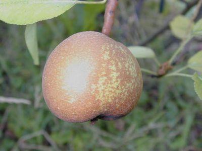 foto-sorta-grushi-olivye-de-serr
