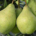 Описание сорта груши Орловская летняя