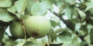 foto-sorta-grushi-pamyat-parshina