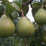 Описание сорта груши Память Жегалова