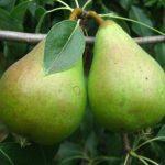 Описание сорта груши Приморская красавица