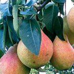 Описание сорта груши Скороплодная