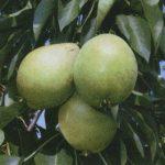 Описание сорта груши Скороспелка из Мичуринска