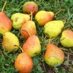 Описание сорта груши Тонковетка уральская