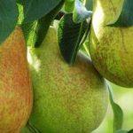Описание сорта груши Январская